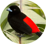 Scarlet-rumped Tanager by AnniverseStash