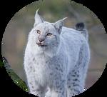 White Eurasian Lynx by AnniverseStash