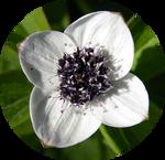 Dwarf Cornel Flower by AnniverseStash