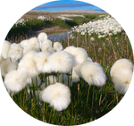 Arctic Cotton Grass by AnniverseStash