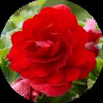 Scarlet Begonias by AnniverseStash