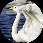 Whooper Swan by AnniverseStash