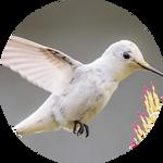 Leucistic Annas Hummingbird by AnniverseStash