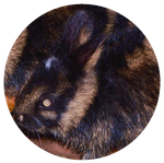 Annamite Striped Rabbit by AnniverseStash