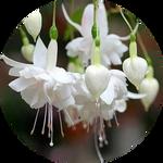 White Fuchsia Flower by AnniverseStash