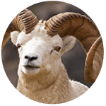Dall Sheep by AnniverseStash