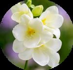 White Freesia by AnniverseStash