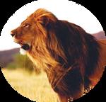 Kalahari Lion by AnniverseStash