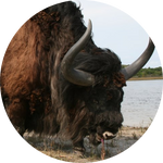 Giant Bison by AnniverseStash