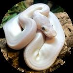 Leucistic Ball Python by AnniverseStash
