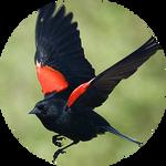 Red Winged Blackbird (Agelaius phoeniceus) by AnniverseStash