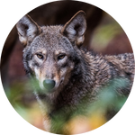 Red Wolf (Canis rufus) by AnniverseStash