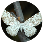White Witch Moth (Thysania agrippina) by AnniverseStash