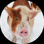 Hereford Pig by AnniverseStash