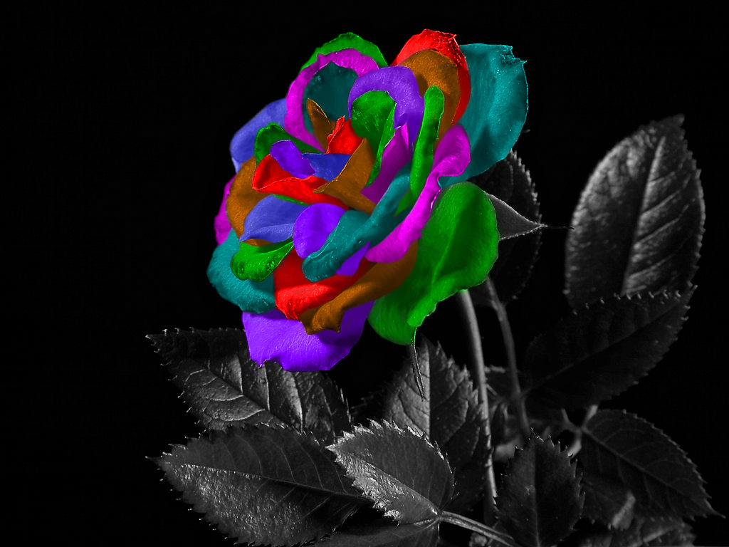 rainbow rose petals bw by sweetguitar on deviantart