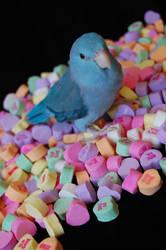 Parrotlet Valentine