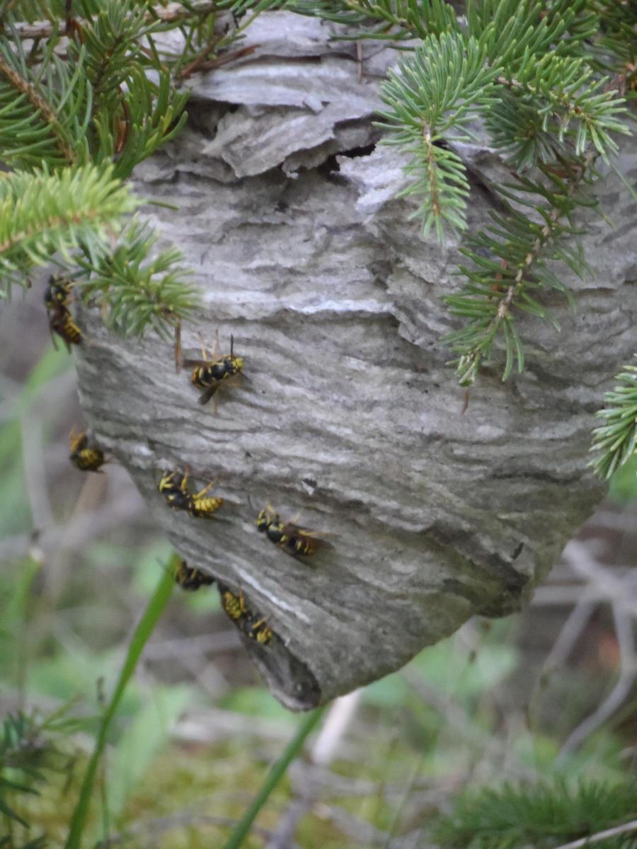 Yellow Jacket Nest - Bing images