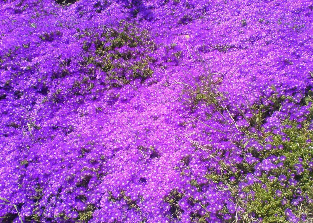 Purple bed of flowers by soulloss ...