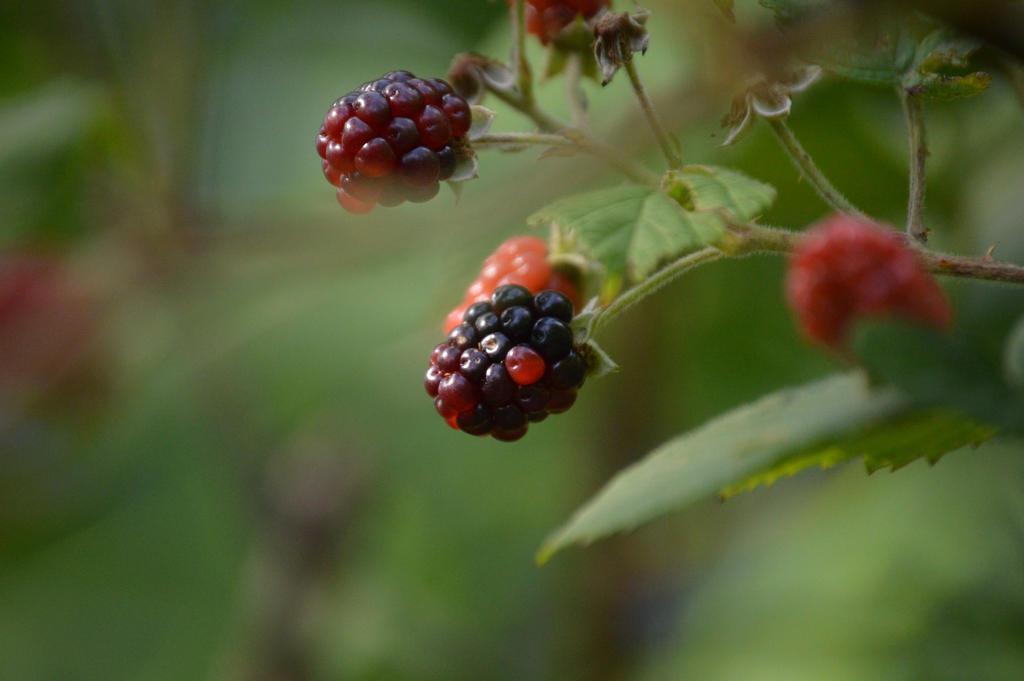 Berries by RoxaslovesNamine