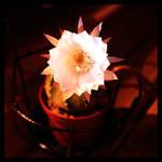 Night Blooming Echinopsis