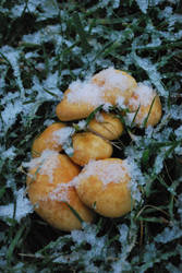 Shrooms in Snow by natureandthings