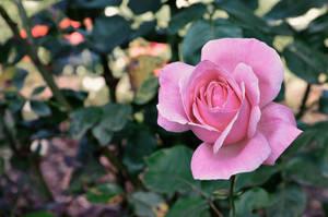 Pink September by kleinerteddy