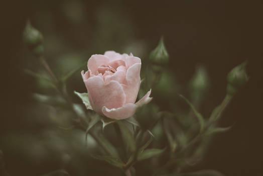 Moonlight Roses