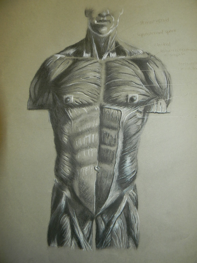 Muscle Anatomy Front by RDVious on DeviantArt