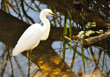 Snowy egret by SamuelFCooke