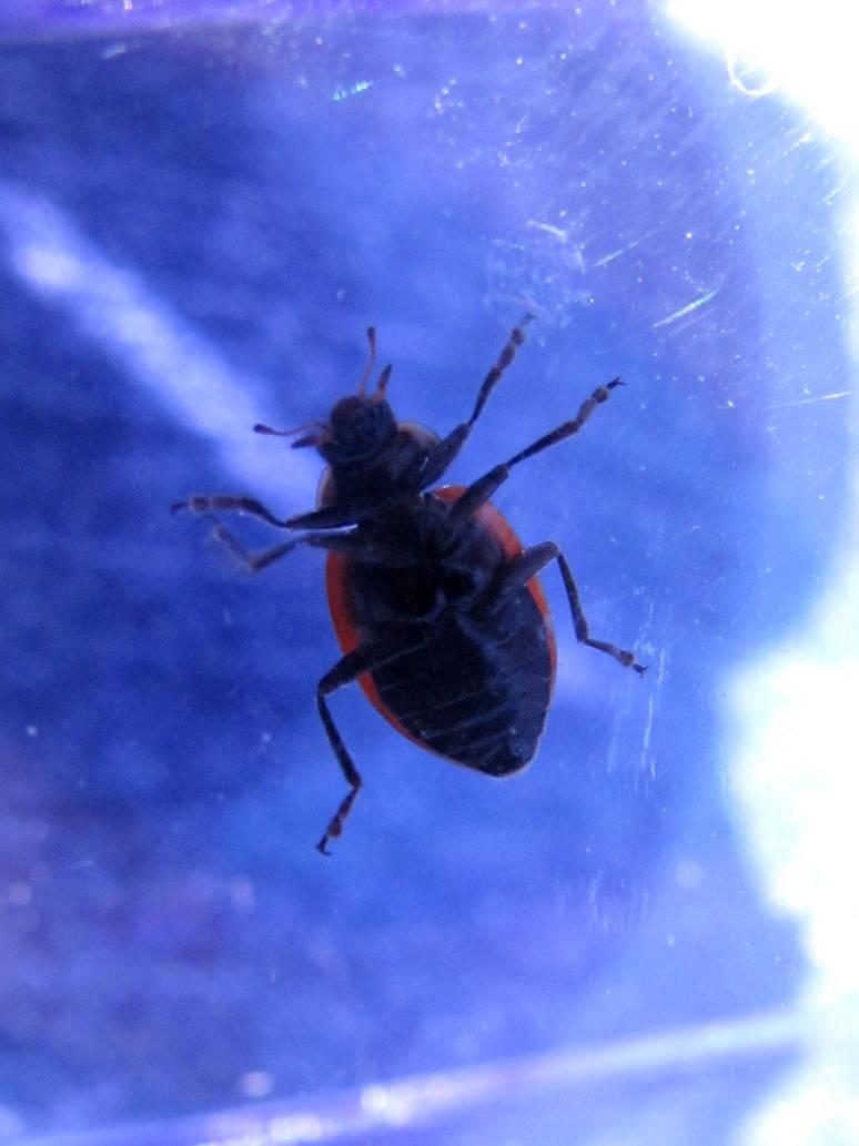 Ladybug Underside By Koshplappit On Deviantart