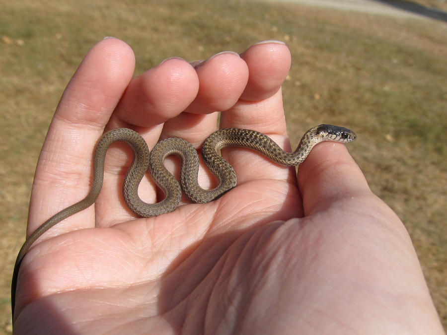 What does a baby copperhead look like