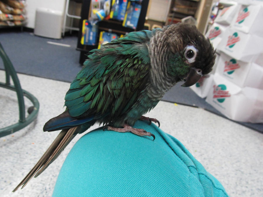 Turquoise Green Cheek Conure By Koshplappit On Deviantart