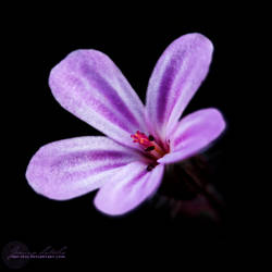 Midnight Flower. by oro-elui