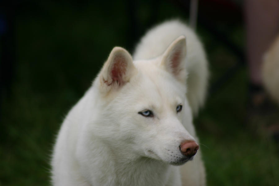 Stunning White Husky By Welshtwilight On Deviantart