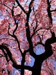 . cherry blossom 2 .