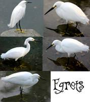 Egrets - Stock by Jenifer10
