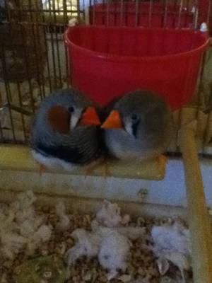 Love Birds by adawongxxxrikku
