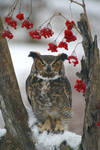 Great Horned Owl III