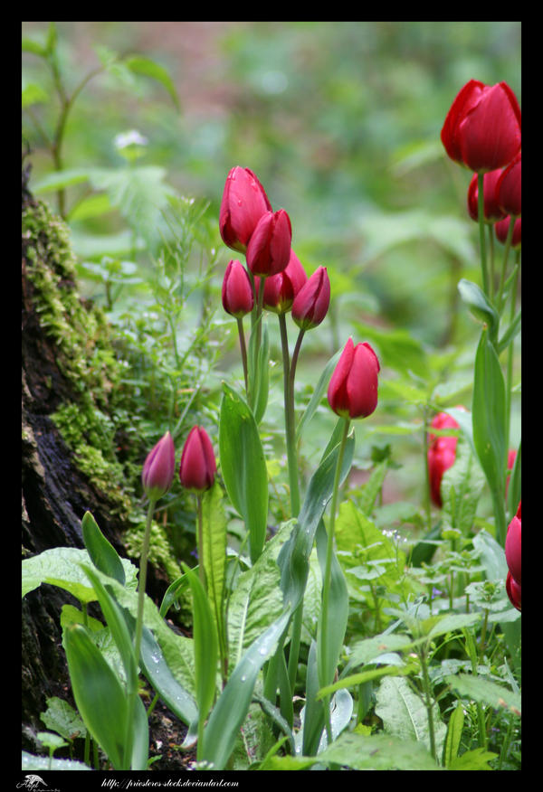 tulips by priesteres-stock