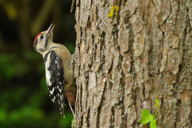 Great spotted woodpecker (Buntspecht)