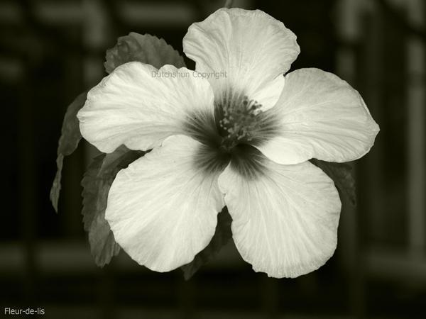 Fleur-de-lis by dutchshun