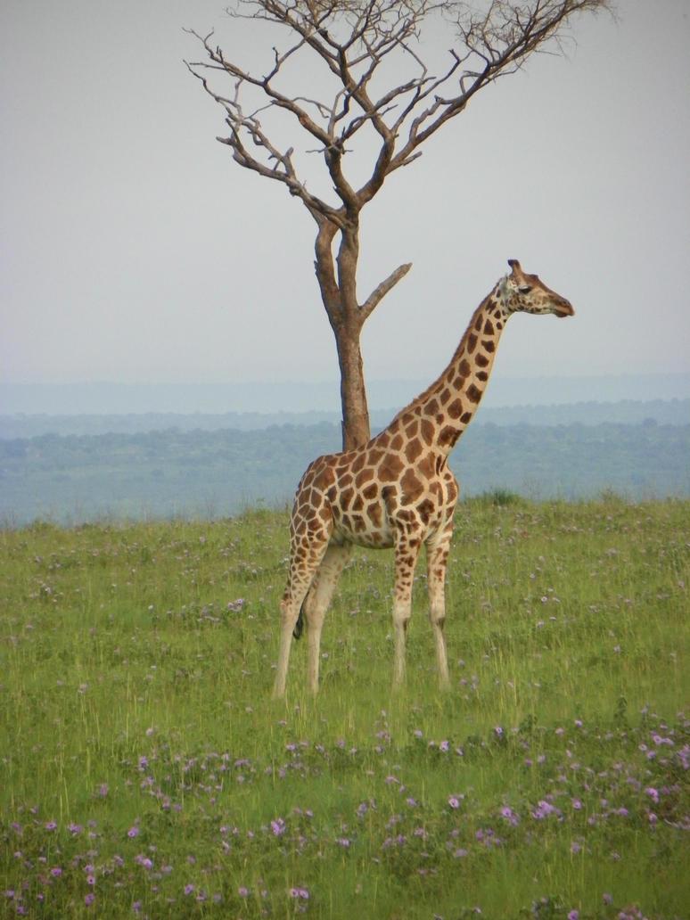 Giraffe in the wild by zutara12345