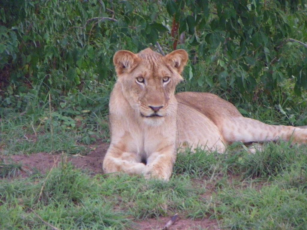Wild Lioness by zutara12345
