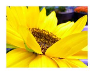 Giant Yellow Petals. by xx-icyangel-xx