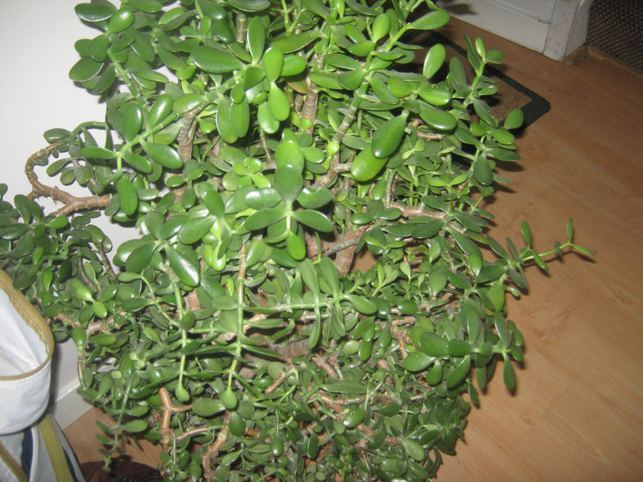 Images Of Money Plant. Big Money Plant by