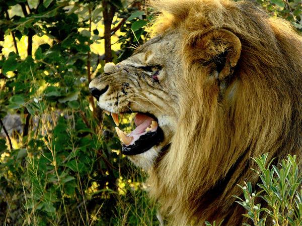 Lion Side Profile by ZaraWynne on DeviantArt