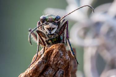 tiger beetle by svilenotnisovo