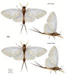 Epicharmeropsis hexavenulosus