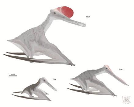 Boreopterus cuiae