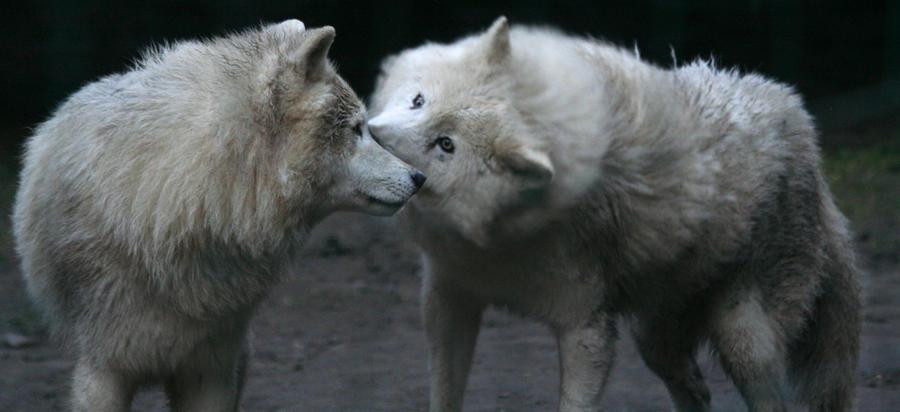 Arctic Wolf by bribesdemoi